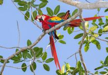 Scarlet Macaw (Ara Macao) In R...