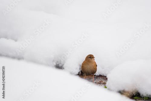 Fotografie, Obraz Eurasian wren on the snow