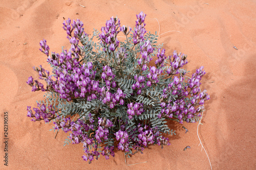 Preuss' milkvetch, Valley of Fire, Nevada Wallpaper Mural