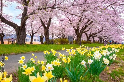 Keuken foto achterwand Asia land Full bloom sakura at Kitakami Tenshochi park in Japan