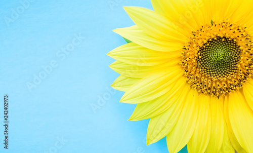 a beautiful sunflower on a blue background