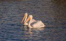 Two White Pelicans Swim Side B...