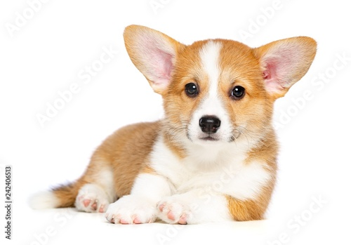 Fototapeta Welsh corgi puppy Dog  Isolated  on White Background in studio