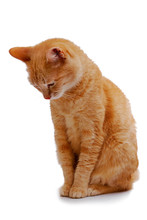 Ginger Cat Sitting And Looking Down Isolated On White Background