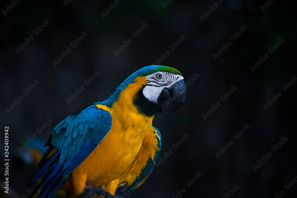 Macaw / macaw blue yellow green white