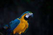 Macaw / Macaw Blue Yellow Gree...