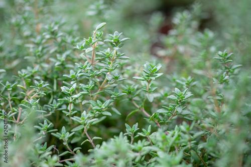 Obraz na plátně A macro shot of the fresh thyme herbs grown at greenhouse