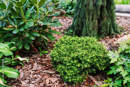 Photo Picea abies Little Gem, rare dwarf conifer, planted in garden with picea abies