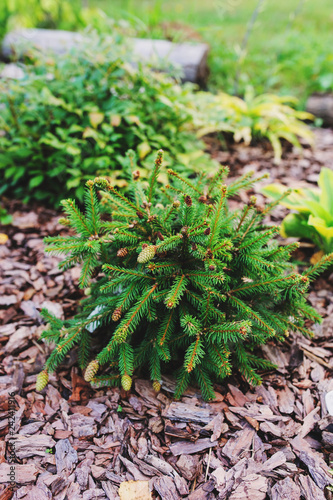 Photo Picea abies Pusch planted in garden, rare dwarf conifer with funny red cones