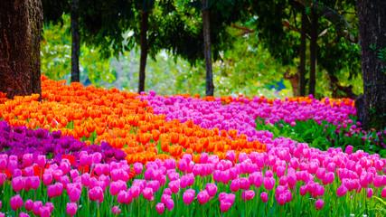 Panel Szklany Ogrody Flower garden, winter flower in Thailand, beautiful flower, straw flower. Tulip.