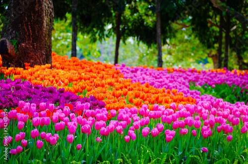Photo  Flower garden, winter flower in Thailand, beautiful flower, straw flower