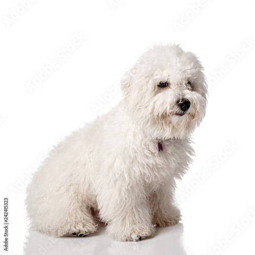 Bichon Frise Puppy Overgrown Not Trimmed Without Grooming Bichon