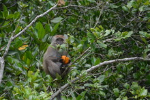 A Little Brown Monkey Sits On ...