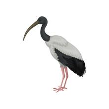 Australian White Ibis. Large Bird With Black And White Feathers And Long Beak. Wildlife Theme. Detailed Flat Vector Icon