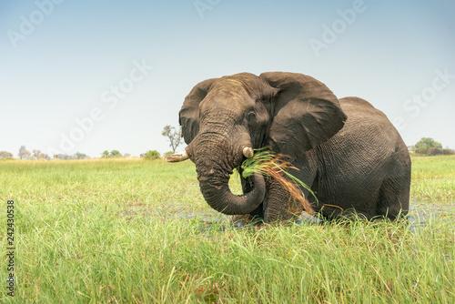 Fotografie, Obraz  ein mächtiger afrikanischer Elefant, Loxodonta africana, frisst Seidengras im Ok