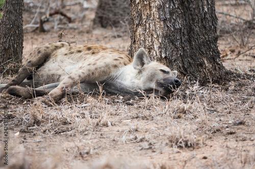 Photo sur Toile Hyène Hyène couchée dormant au pied d'un arbre.