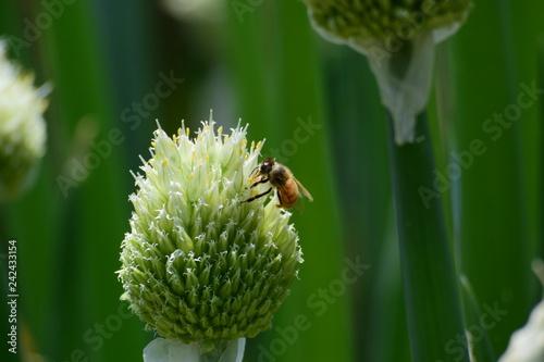 Fotografie, Obraz  ネギ坊主と蜂