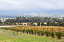 Domaine Chandon Vineyard In Victoria, Australia