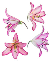 Isolated Lily Four Blooms With Pink Edges