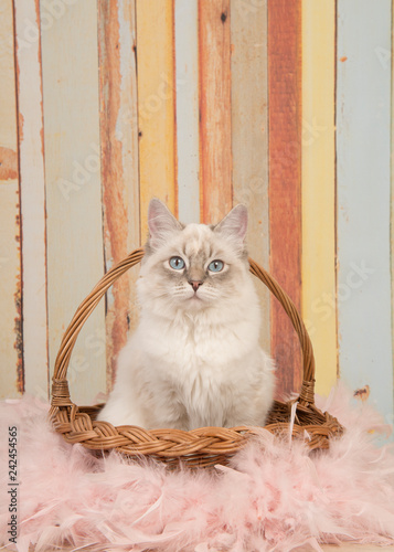 Valokuvatapetti Cute ragdoll cat with blue eyes looking at camera sitting in a reed basket on a