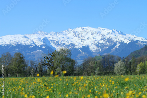 Tuinposter Purper Beautiful snow covered mountain ranges Alps of Liechtenstein with clear blue sky. Green hill, trees and spring meadow full with yellow dandelion and buttercup and spring flowers are in the foreground.