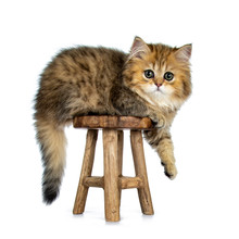 Cute Golden British Longhair Cat Kitten, Sitting / Laying Side Ways On Brown Wooden Stool, Tail And One Paw Hanging Down. Looking At Lens With Big Green Eyes. Isolated On White Background.
