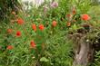 canvas print picture - Garten mit Mohn Lupinen Baumstamm