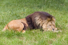 Young Male African Lion Sleeping