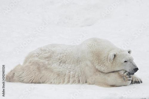 Poster Polar bear A polar bear on a snow is a powerful northern animal.