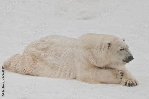 In de dag Ijsbeer A polar bear on a snow is a powerful northern animal.