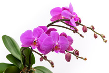 Blooming Branch Of Pink Orchids On A White Background With Stems And Buds