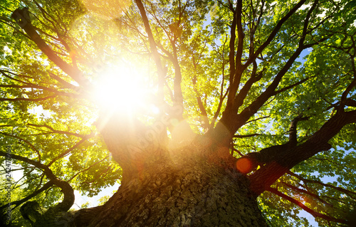 Spring nature background; big old oak tree against sunlight