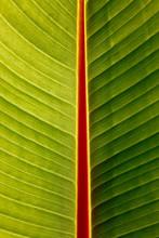 Macro Of Banana Leaf