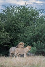 Adult And Adolescent Male Lion...