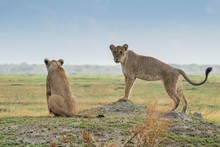 Lionesses (Panthera Leo) On The Lookout, Savannah, Chobe National Park, Chobe District, Botswana, Africa