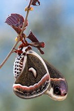 Glover's Silkmoth (Hyalophora ...