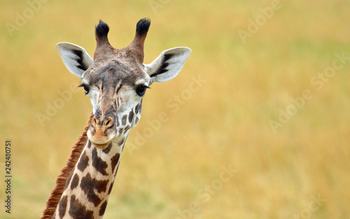 Close up of a giraffe face looking forward with peach nose, big black eyes with long lashes, white perked ears, and long brown and black nobs on head with wheat background Canvas Print