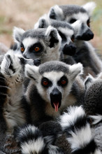 Ring Tailed Lemur Sticking Ton...