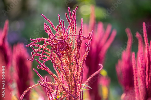 Isolated Indian red and green amaranth plant lit by sun on blurred blooming field and bright green bokeh background Wallpaper Mural