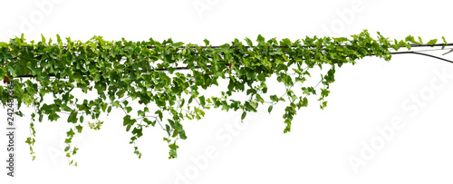 In de dag Planten vine plant climbing isolated on white background with clipping path included.