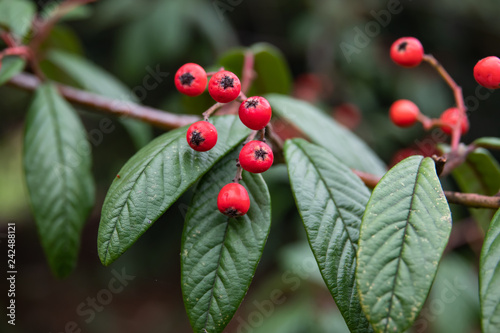 Fotografering  Willow Leaved Cotoneaster Fruits in Winter