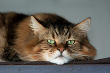 Moose, The Maine Coon Cat, Stares At The Camera, Full Of Cat Attitude.