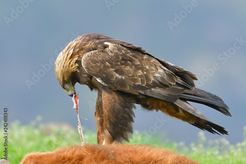Photo  Golden Eagle feeding from a carcass