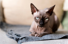 1 Bald Cat Lying On The Couch, Canadian Sphynx, Cat Eyes