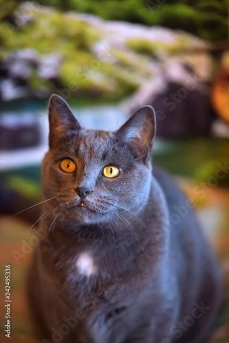 Fotografía  beautiful gray British cat