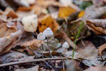 Three Mushrooms In The Forest