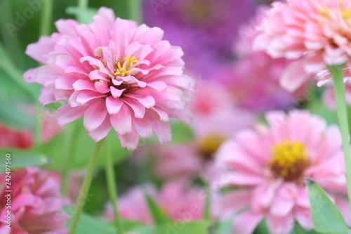 Poster de jardin Dahlia Flower