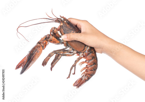 Fotomural  hand holding Fresh Raw lobster isolated on white background