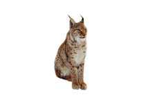 Lynx (lynx Izabellinus) Isolated