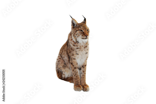 Spoed Foto op Canvas Lynx lynx (lynx izabellinus) isolated